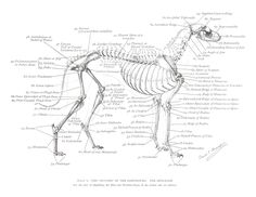 Greyhound Anatomy Diagram - The Skeleton - click the link to get this Greyhound Anatomy Print in high resolution 17X24 and all of the Greyhound Anatomy Diagram Prints - https://app.box.com/s/ti50d05tw0b5dbbum82w