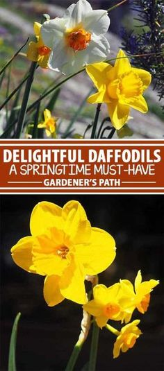 For a bright end to the dreary winter, daffodils are an easy-to-grow spring favorite, providing up to four months of delightful color and perfume. Lovely as a fragrant, long-lasting cut flower, bulbs can even be forced to bloom early indoors . Join us now for a look at all the details on narcissus care and cultivation.