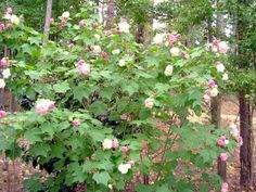 Confederate Rose is a fast growing bush that can reach heights over 10' tall. Great for a privacy plant on the Gulf Coast!