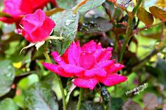 Roses and raindrops!