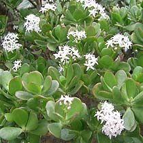 jade in bloom