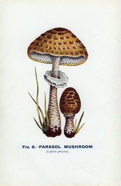 Parasol Mushroom, Reproduction 6 Vintage Mushroom Decor, 1926, Edible Fungi, Natural History, Country Cottage, Library Decor