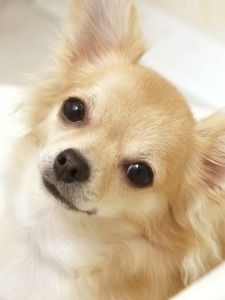 Beautiful long hair Chihuahua .. I love this sweet face <3