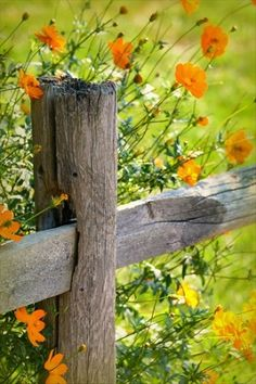 Orange poppies and fence.