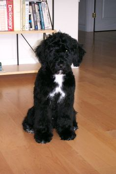 Hypoallergenic dog option: Portuguese Water Dog