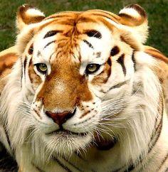 Nearly Extinct Golden Tiger...