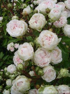 Mlle Juliet de Bricard | roses