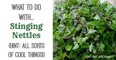 Wild Food Foraging: Stinging Nettles Recipe There are many plants growing in the wild (nature) that nutritious, taste great and can lower your grocery Edible Plants, Edible Garden, Healing Herbs, Medicinal Plants, Nettle Recipes, Herbs For Health, Wild Edibles, Herbal Medicine, Natural Living