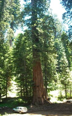 A big tree and my little truck at Mountain Home State Forest, Tulare County, California. DSMc.2012