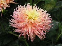 Dahlia 'Fringed Star' - Cactus Dahlia www.vanbloem.com #vanbloemgardens…