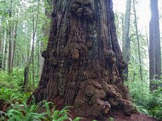 Ancient redwood trunk with thick bark and many burls; Miners Ridge Trail, Prairie Creek Redwoods