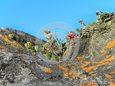 A close up view of Fynbos plants and succulents growing in the cleft of a granite rock at the coast.