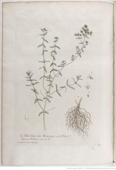 Thym blanc, La botanique mise à la portée de tout le monde... Exécuté et publié par les Sr et De Regnault.... Tome 2 | 1774