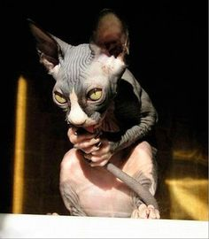 """* * SPHYNX: """" if yoo wuz preggo, yoo woulds be chewin' on yer tail too, knowin' yer bringin' mores cats wif noes fur into de house ands hopin' yer human nots be breedin' fer cash monies. I Love Cats, Cute Cats, Funny Cats, Funny Animals, Cute Animals, Funniest Animals, Cats Humor, Wild Animals, Cat Memes"""