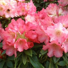 Rhododendron Surrey Heath Has Lovely Rose Pink Flowers With Orange Spotting And