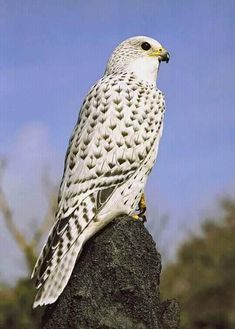 of prey companion. Largest breed of falconsbird of prey companion. Largest breed of falcons All Birds, Birds Of Prey, Love Birds, Angry Birds, Pretty Birds, Beautiful Birds, Animals Beautiful, Exotic Birds, Colorful Birds