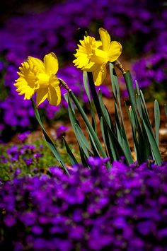 I love the color contrast of the yellow and purple.