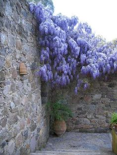 wisteria trailing over a wall Weeping Trees, Purple Wisteria, Front Courtyard, Climbing Vines, Flower Beds, Spring Flowers, Beautiful Gardens, Planting Flowers, Herbs