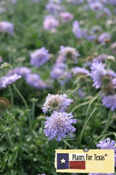 Scabiosa columbaria 'Butterfly Blue' Pincushion Flower - Full Sun - 2″ lavender-blue flowers late spring to early fall that are reminiscent of a pincushion full of pins. Pincushion Flower will get up to 18″ tall with the flower and the gray-green foliage will get 6-8″ tall, the plant can get up to 12-15″ wide. This is a great plant for attracting butterflies and hummingbirds and does excellent in rock gardens.