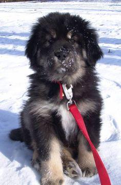 Tibetan Mastiff.... that face