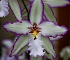Orchidulous