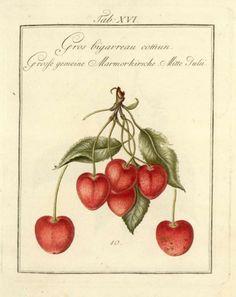 Mayer, Johann: Pomona Franconica, Marmorkirsche / cherry