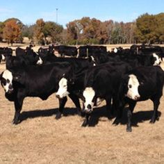 19 - Brangus Baldy Heifers for Sale - Texas - For more information click on the image or see ad # 39822 on www.RanchWorldAds.com