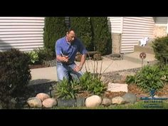 Pruning: Endless Summer Hydrangea