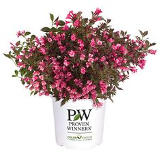 Proven Winners Wine and Roses Reblooming Weigela (Florida) Live Shrub, Pink Flowers and Dark Purple Foliage, 1 Gal. Garden Shrubs, Flowering Shrubs, Trees And Shrubs, Sonic Bloom, Lagerstroemia, Hot Pink Flowers, Pink Plant, Proven Winners, Gardens