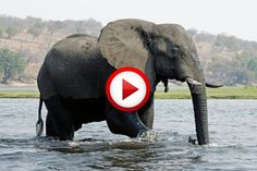 Elephant vs crocodile #animals, #Africa, #elephants, #crocodiles, #videos, #pinsland, https://apps.facebook.com/yangutu