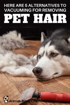 Here are 5 alternatives to vacuuming for removing pet hair Inspirational Animal Quotes, Pet Hair Removal, Dog Wash, Interesting Animals, Animal Facts, Find Pets, Diy Stuffed Animals, Pet Accessories, Dog Owners