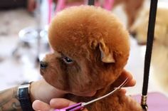 Poodle asian grooming