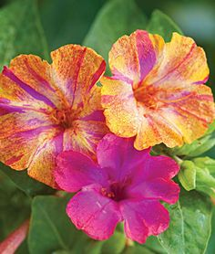 Four O'clocks - drop seeds and come back each spring/summer. LOVE THEM They are sooo easy!