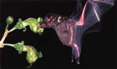 pollinators-bats