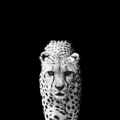 Captivating Black & White portrait of our favourite animal - the Cheetah!