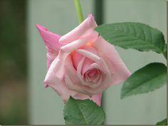 'Maman Cochet' rose