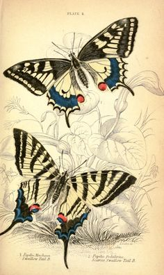 Vintage butterfly illustration; striped butterfly  --  LOADS of FREE Printables on this site!