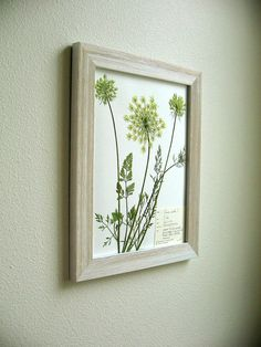 Real Pressed Botanical Art, Original Herbarium Specimen Art: Wild Carrot, Queen Anne's Lace, 11x14 Framed - LOOOVE
