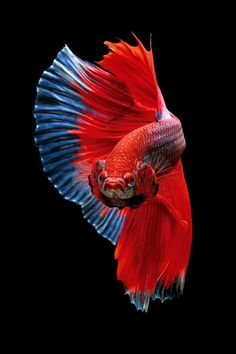 Betta fish splandens by kurit afsheen Fish Wallpaper Iphone, Animal Wallpaper, Beautiful Tropical Fish, Beautiful Fish, Betta Fish Types, Pretty Fish, Fish Breeding, Fish Logo, Siamese Fighting Fish