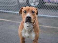 PICOLO - A1069044 - - Brooklyn  Please Share:   TO BE DESTROYED 04/21/16 A volunteer writes: Picolo was found abandoned on a beach in Far Rockaway and dislikes the water. He is shy and a little unsure, but has completely swept me off my feet! He didn't want much of anything to do with me at first, but lucky for me he did want something to do with my treats. When I called him over he stopped a good distance from me, sat when I asked him to, and promptly began offering
