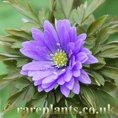 Anemone pseudoaltaica 'Chichi Henge'