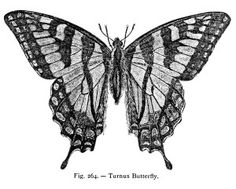 Turnus Butterfly - Curious Clipart - Vintage Black and White Illustration