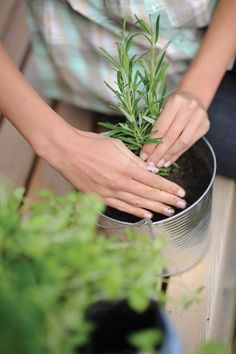 Green Patch: Rosemary, Sage and Basil Growing Problems Solved