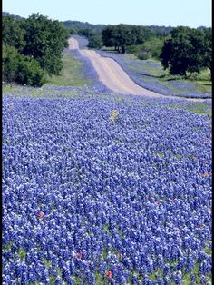 Texas hill country highway in bluebonnet season...
