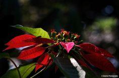 Euphorbia pulcherrima - Poinsettia - Ajaytao