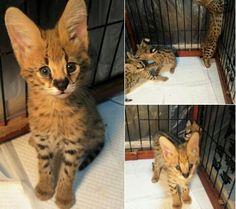 Serval Cat. @DanielArredondo