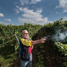 Shots fired over the vineyards to scare away birds in Nackenheim, Germany