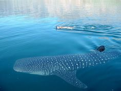 Snorkeling with whale shark is a great surprise sometimes in our lazy lizard catamaran tour, wher you will enjoy of a sailing experience all inclusive.
