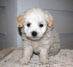 Maltipoo - Article to help prevent ticks and fleas.