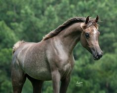 Ammourah AP (Scapa x Nordic Mishaala) 2013 grey SE mare bred by Ali Pasha Arabians, Mississippi - Strain: Dahman Shahwan